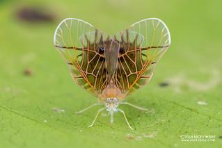 Derbid planthopper (Derbidae) - DSC_9405