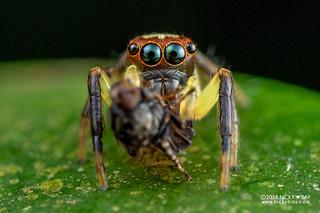 Jumping spider (Salticidae) - DSC_9314