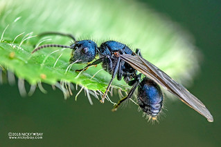 Blue ant (Echinopla densistriata) - DSC_9119