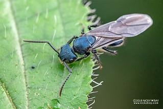 Blue ant (Echinopla densistriata) - DSC_9115