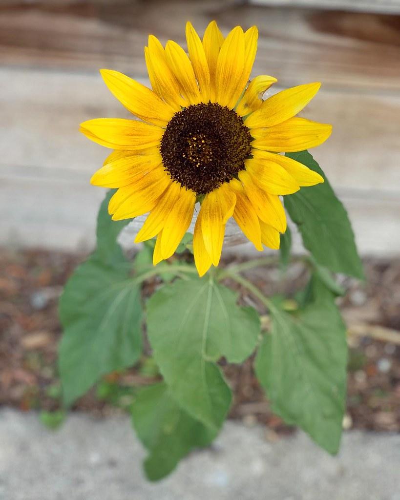 A sunflower, still hanging on
