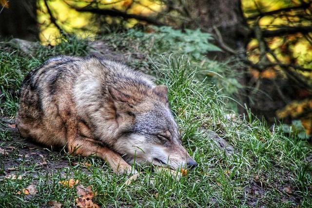 Entspannter Wolf...