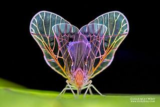 Derbid planthopper (Derbidae) - DSC_9414