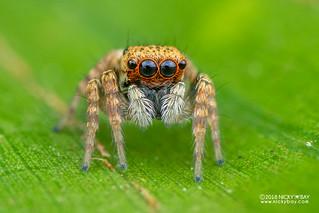 Jumping spider (Salticidae) - DSC_9258