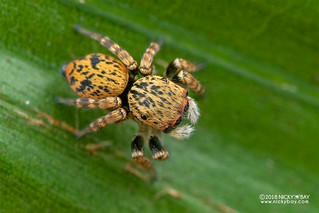 Jumping spider (Salticidae) - DSC_9255