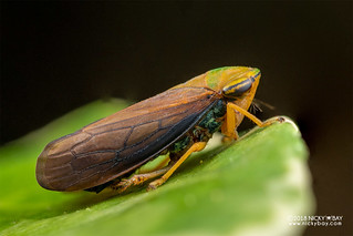 Leafhopper (Tartessus sp.) - DSC_9231