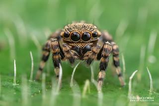 Jumping spider (Salticidae) - DSC_8965