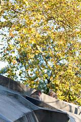 Autumn colours in artis zoo, amsterdam.Japanese macaqua