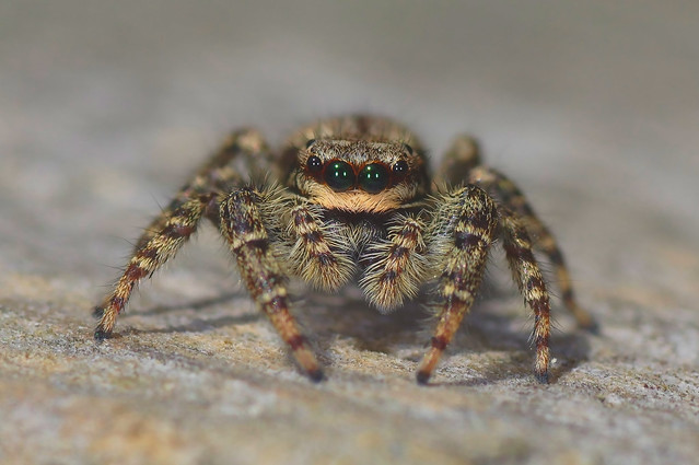 Adult Female Jumping Spider - Marpissa muscosa