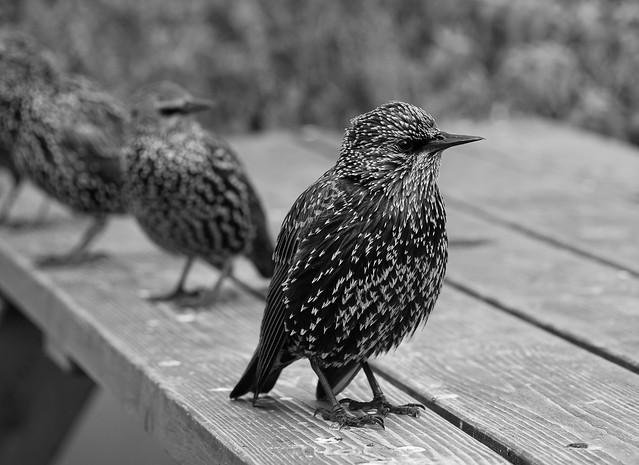 Starling Study