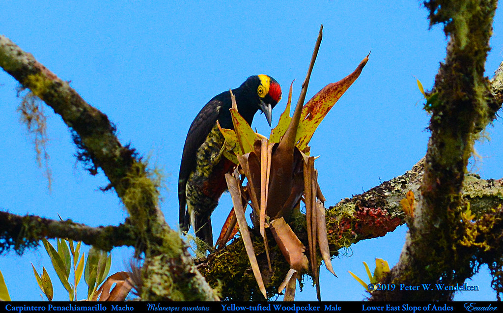 YELLOW-TUFTED WOODPECKER Male Melanerpes cruentatus on the Eastern Slope of Andes in Ecuador. Photo by Peter Wendelken.