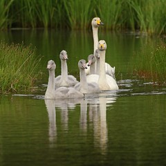 Álft - Whooper Swan