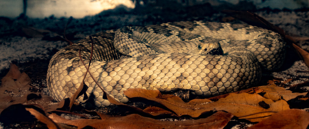 Catalina Island Rattlesnake