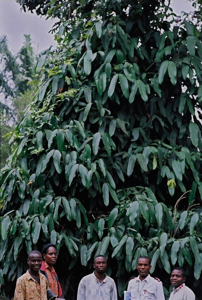 Garcinia xanthochymus Hook. f. (CLUSIACEAE)