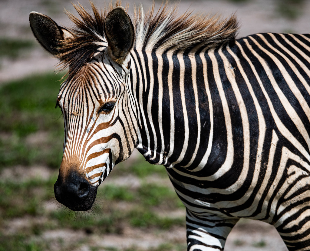Zebra_5