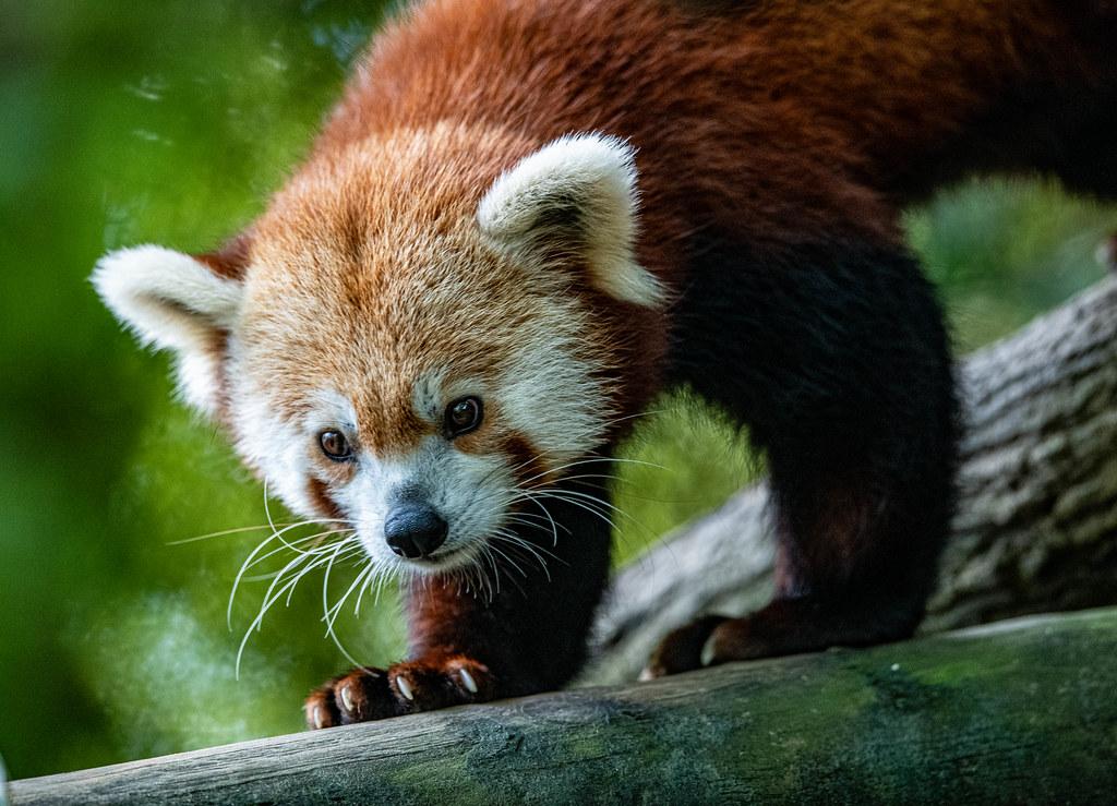 Red Panda_4
