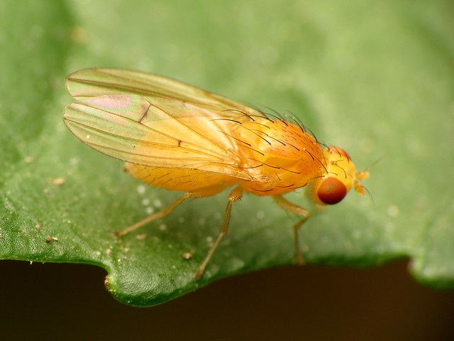Clear-winged Homoneura