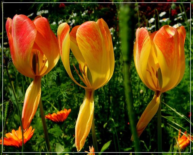 Trzy tulipany.