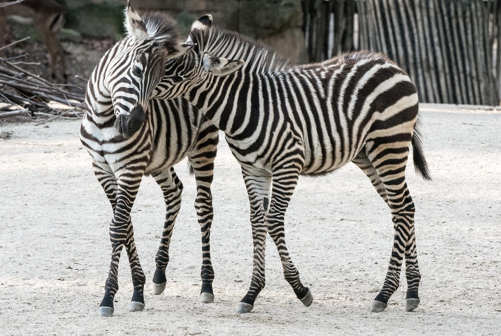 Zebras_Two_024