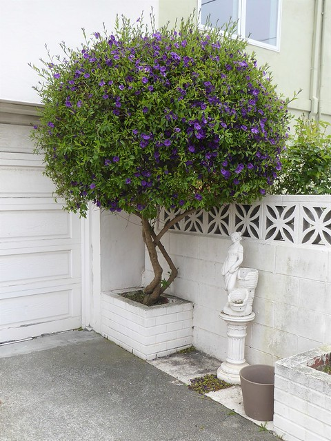 San Francisco, CA, Noe Valley, Blue Potato Bush (?)