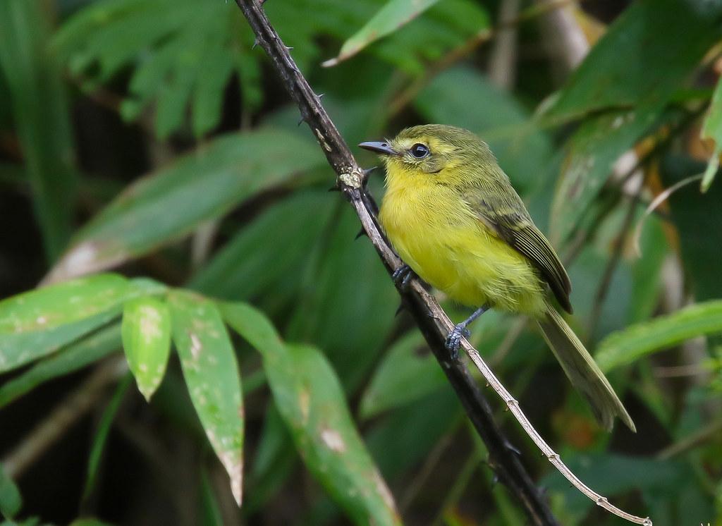 Marianinha-amarela / Yellow Tyrannulet