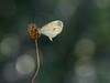 Wood White - Boswitje Leptidea sinapis by de_frakke