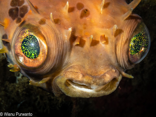 Porcupinefish-112.jpg