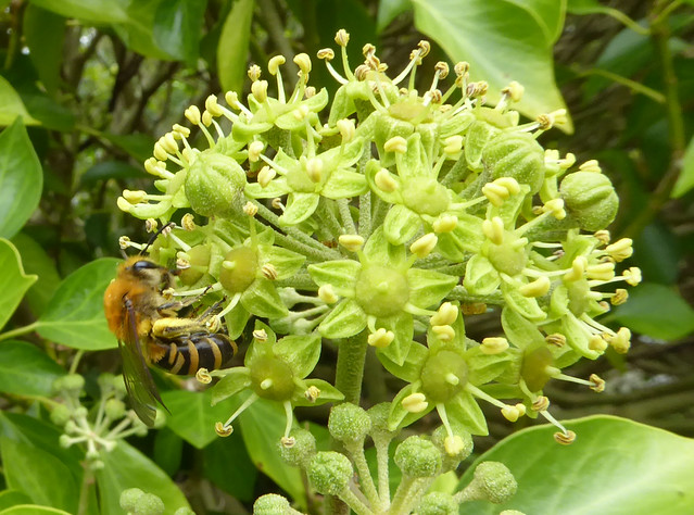 Ivy bee female with pollen