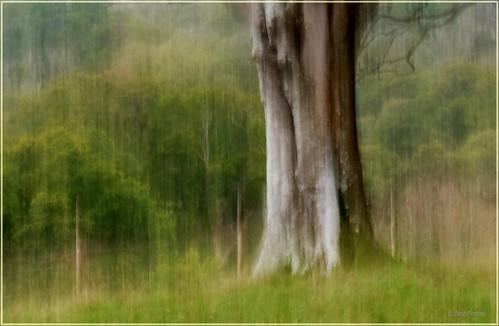 Lanhydrock Beech Tree taken using ICM - 66 DSCF3905