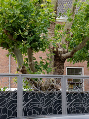 Plane trees & fence in the back-yard of the Hermitage museum in Amsterdam city