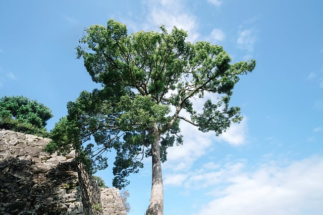 彥根城 一顆樹