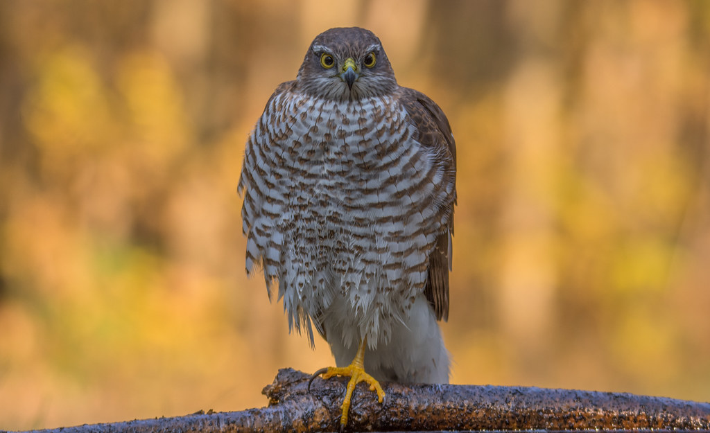Relax  /  Karvaly (Accipiter nisus)