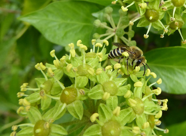 Ivy bee male