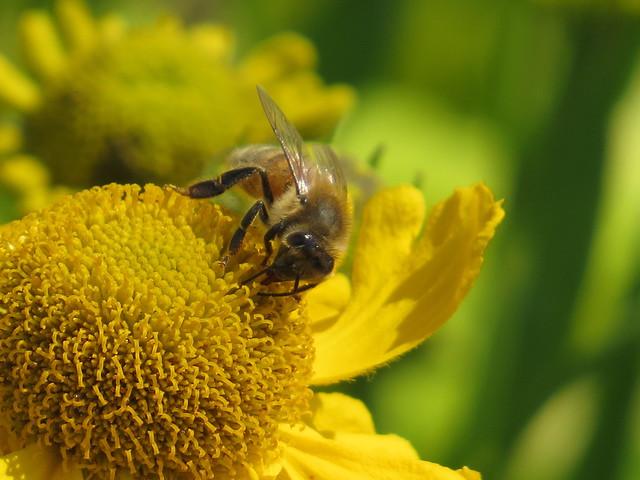 RHS Hyde Hall - 01-07-2014 (12) Rudbeckia and Bee