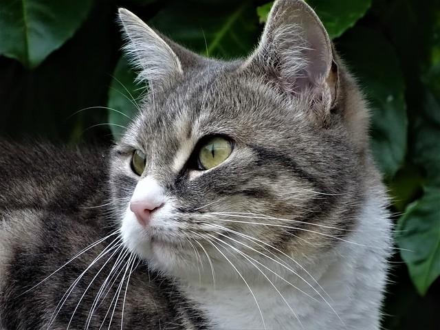 Tête de chat.