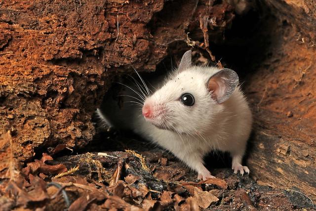 Natal Multimammate Mouse - Mastomys natalensis