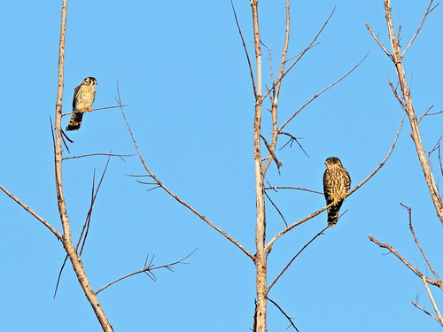 American Kestrel and Merlin 01-20191101