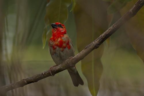 foudirouge foudiamadagascariensis afrique arbre branche comores nature oiseau rouge moroni grandecomore