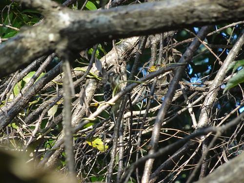 トトロの森1号地のコゲラ