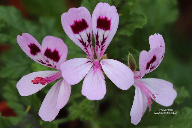 Pelargonium 'Fair Ellen'