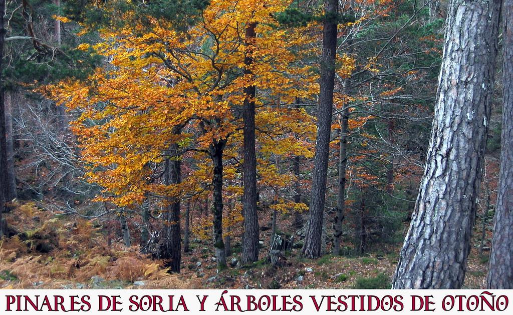 Pinares de Soria y árboles vestidos de otoño