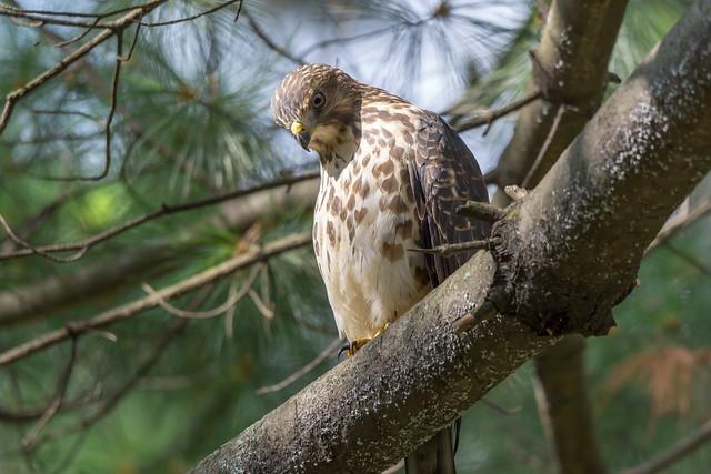 Broad-winged Hawk (Petite Buse)