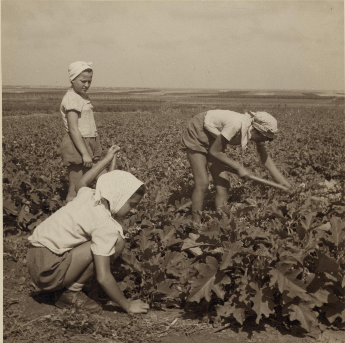 10. Работа в поле на равнине под Зихрон-Яаковом