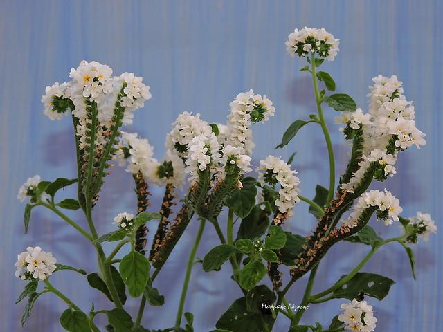 1_Heliotropium hirsutissimum