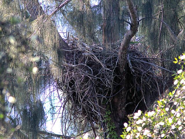 Bald Eagle nest 20191102