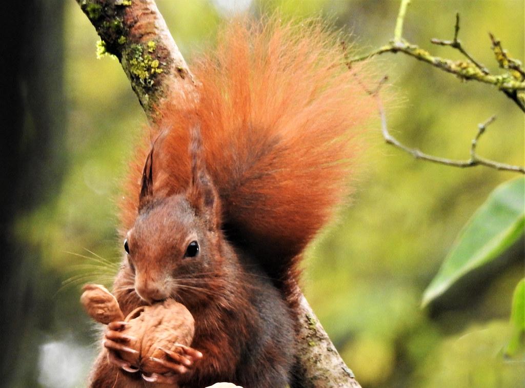 Squirrel / Eichhörnchen  DSCN0087BB_IP