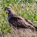 IMG_3721 redtail hawk