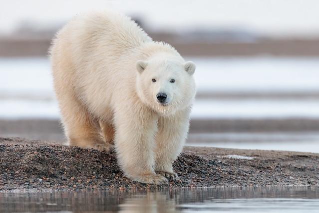 Polar Bear Cub (Explored)