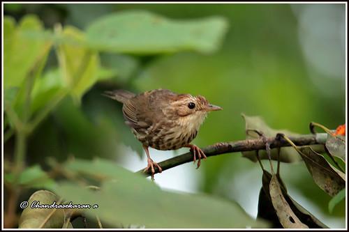birds nature india kerala wayanad canoneos6dmarkii tamronsp150600mmg2