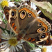 Butterfly brilliant 4